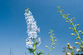 Blue flowers under sunny sky — Stock Photo