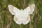 White moth on pine tree background — Stock Photo