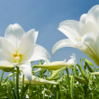 White lily in the field — Stock Photo #2122217