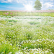 Sunrise in Spring field, daisy flowers — Stock Photo