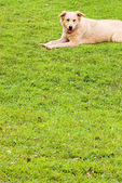 Puppy on soft grassland — Stock Photo