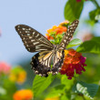 Colorful swallowtail butterfly flying — Stock Photo #2151238