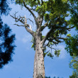 Pine tree and blue sky — Stock Photo