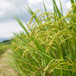 Rice field with footpath — Stock Photo