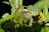 Tree frog courtship — Stock Photo