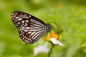 Milkweed butterfly feeding — Stock Photo
