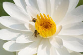 White waterlily with bees — Stock Photo