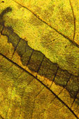 Golden color in the leaf, detailed vein — Stock Photo