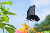 Black Swallowtail butterfly — Stock Photo