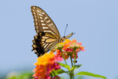 Colorful swallowtail butterfly feedin — Stock Photo