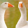 Two geese portrait — Stock Photo #2412731