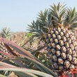 Pineapple, tropical fruit — Stock Photo