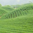 Tea farm — Stock Photo #2412763