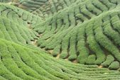 Tea trees on hill — Stock Photo