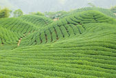 Tea farm — Stock Photo