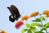 Beautiful swallowtail butterfly flying — Stock Photo