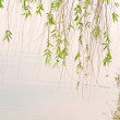 Green willow and lake — Stock Photo