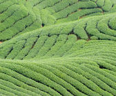 Complex landform and tea trees — Stock Photo