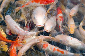 Colorful fishes in transparent water — Stock Photo