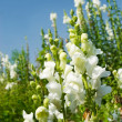White Snapdragon flowers under blue sky — Stock Photo