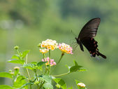 Big swallowtail butterfly flying — Stock Photo