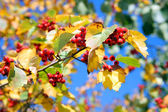 Autumn hawthorn — Stock Photo
