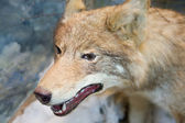 Wolf in the museum — Stock Photo