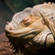 Green iguana — Stock Photo #1952448