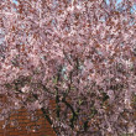 Постер, плакат: Flowering tree