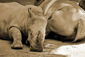 Two huge rhinoceros — Stock Photo