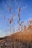 Beautiful summer sky with reed plants — Stock Photo