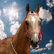 The akhal-teke stallion. - Stock Photo
