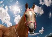 The akhal-teke stallion. — Stock Photo