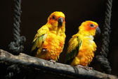 Sun conures — Stock Photo