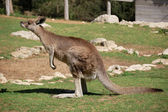 Grey kangaroo — Stock Photo