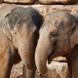 Two asian elephants — Stock Photo