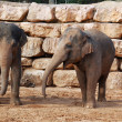 Two asian elephants — Stock Photo
