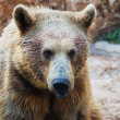 Syrian brown bear — Stock Photo