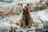 Syrian brown bear — Stock Photo