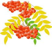 Rowan berry — Stock Vector