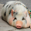 Pig on city street — Stock Photo #2456605