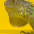 Green iguana — Stock Photo #2543943