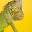 Green iguana — Stock Photo #2544047