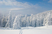 Snowy firs and blue cloudy sky — Stock Photo