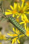 Caterpillar of Papilio machaon Linnaeus — Stock Photo