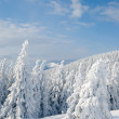 Snow covered fir trees — Stok fotoğraf