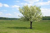 Flowered tree — Stock Photo