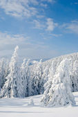 Snow covered fir trees — Stock Photo
