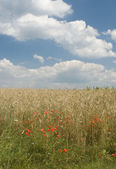Landscape with poppies and wheat — Stock Photo