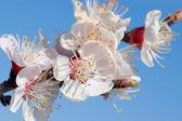 Apricot blossoms — Stock Photo